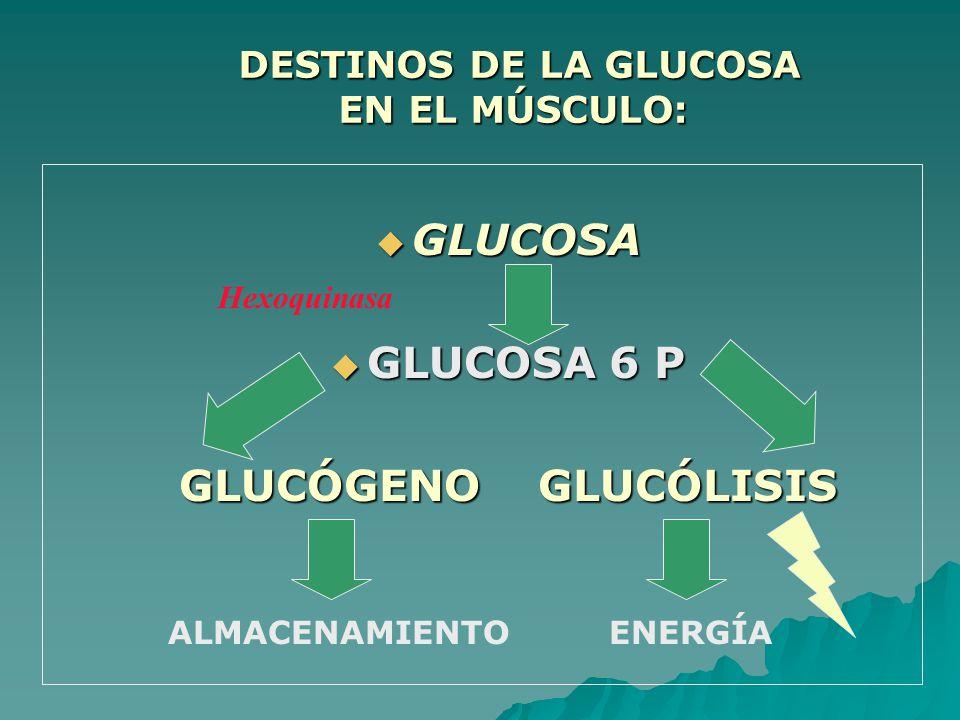 DESTINOS DE LA GLUCOSA EN EL MÚSCULO: DESTINOS DE LA GLUCOSA EN EL MÚSCULO: GLUCOSA GLUCOSA GLUCOSA 6 P GLUCOSA 6 P GLUCÓGENO GLUCÓLISIS ALMACENAMIENTO ENERGÍA Hexoquinasa