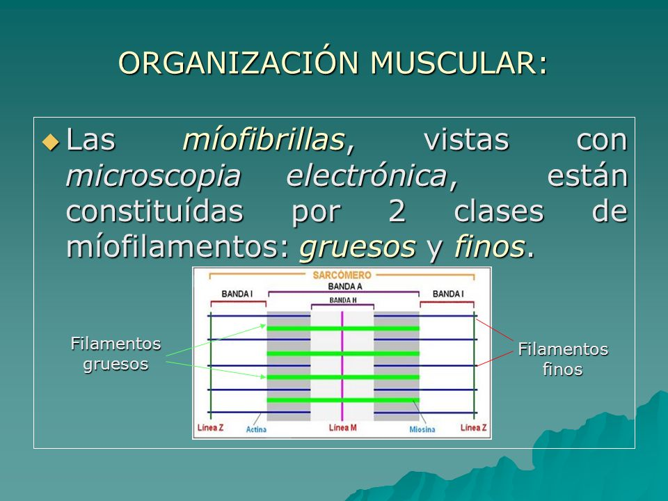 ORGANIZACIÓN MUSCULAR: Las míofibrillas, vistas con microscopia electrónica, están constituídas por 2 clases de míofilamentos: gruesos y finos.