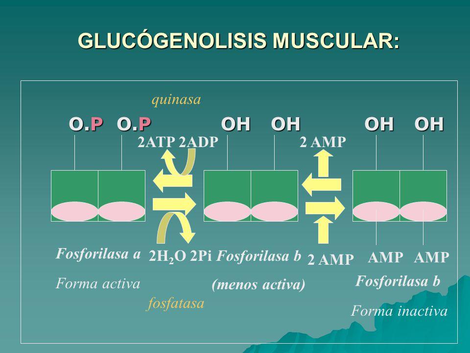 GLUCÓGENOLISIS MUSCULAR: GLUCÓGENOLISIS MUSCULAR: O.P O.P OH OH OH OH O.P O.P OH OH OH OH AMP AMP Fosforilasa a Fosforilasa b 2H 2 O 2PiFosforilasa b (menos activa) 2 AMP Forma activa Forma inactiva 2ATP 2ADP2 AMP fosfatasa quinasa