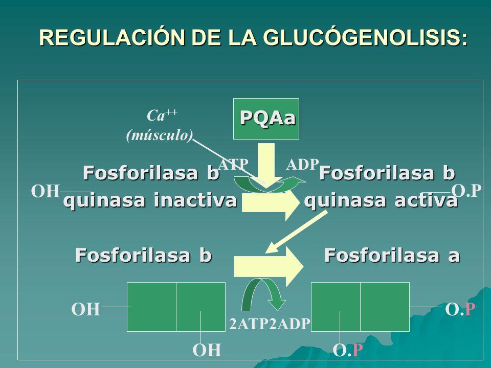 REGULACIÓN DE LA GLUCÓGENOLISIS: REGULACIÓN DE LA GLUCÓGENOLISIS: PQAa Fosforilasa b Fosforilasa b Fosforilasa b Fosforilasa b quinasa inactiva quinasa activa quinasa inactiva quinasa activa Fosforilasa b Fosforilasa a OH O.P 2ATP2ADP O.P OH ATPADP OH Ca ++ (músculo)