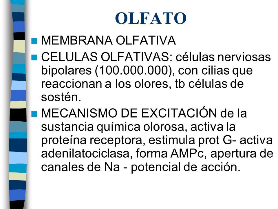 OLFATO MEMBRANA OLFATIVA CELULAS OLFATIVAS: células nerviosas bipolares (100.000.000), con cilias que reaccionan a los olores, tb células de sostén.