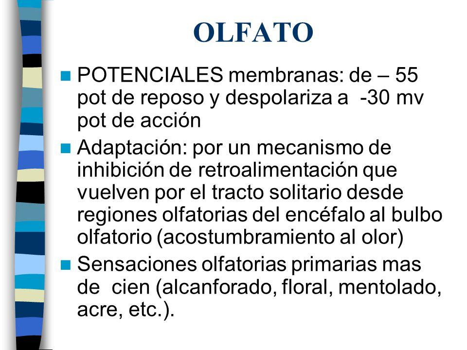 OLFATO POTENCIALES membranas: de – 55 pot de reposo y despolariza a -30 mv pot de acción Adaptación: por un mecanismo de inhibición de retroalimentación que vuelven por el tracto solitario desde regiones olfatorias del encéfalo al bulbo olfatorio (acostumbramiento al olor) Sensaciones olfatorias primarias mas de cien (alcanforado, floral, mentolado, acre, etc.).