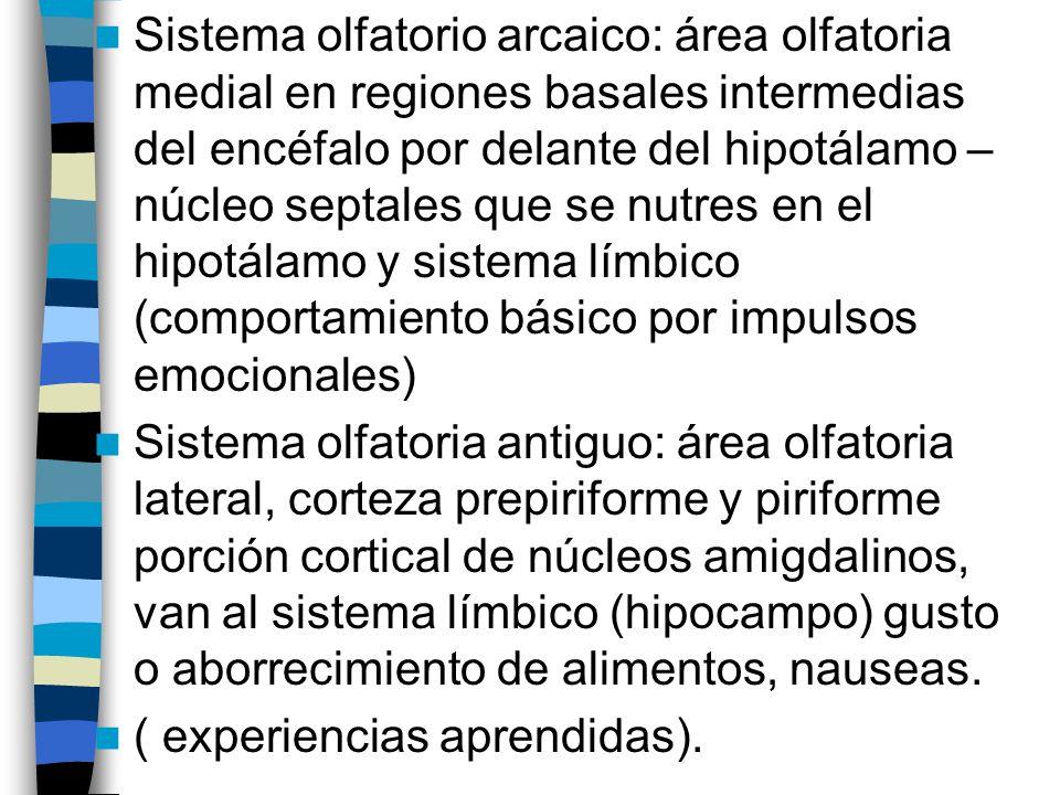Sistema olfatorio arcaico: área olfatoria medial en regiones basales intermedias del encéfalo por delante del hipotálamo – núcleo septales que se nutres en el hipotálamo y sistema límbico (comportamiento básico por impulsos emocionales) Sistema olfatoria antiguo: área olfatoria lateral, corteza prepiriforme y piriforme porción cortical de núcleos amigdalinos, van al sistema límbico (hipocampo) gusto o aborrecimiento de alimentos, nauseas.
