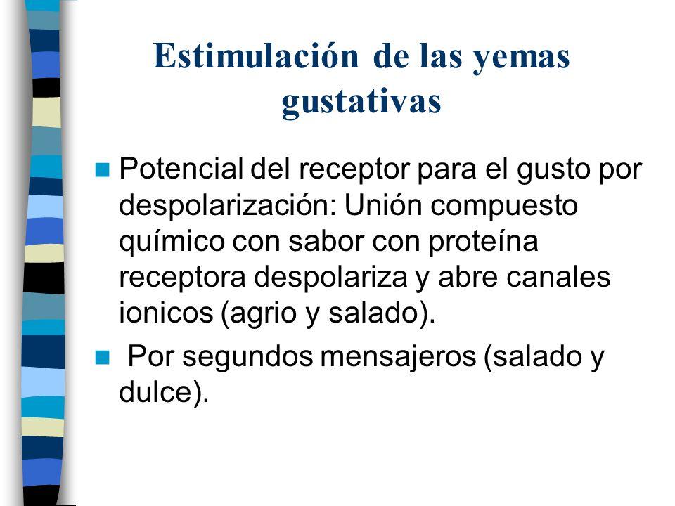 Estimulación de las yemas gustativas Potencial del receptor para el gusto por despolarización: Unión compuesto químico con sabor con proteína receptora despolariza y abre canales ionicos (agrio y salado).