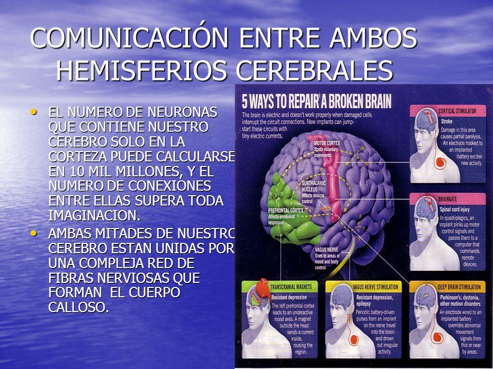 COMUNICACIÓN ENTRE AMBOS HEMISFERIOS CEREBRALES EL NUMERO DE NEURONAS QUE CONTIENE NUESTRO CEREBRO SOLO EN LA CORTEZA PUEDE CALCULARSE EN 10 MIL MILLO