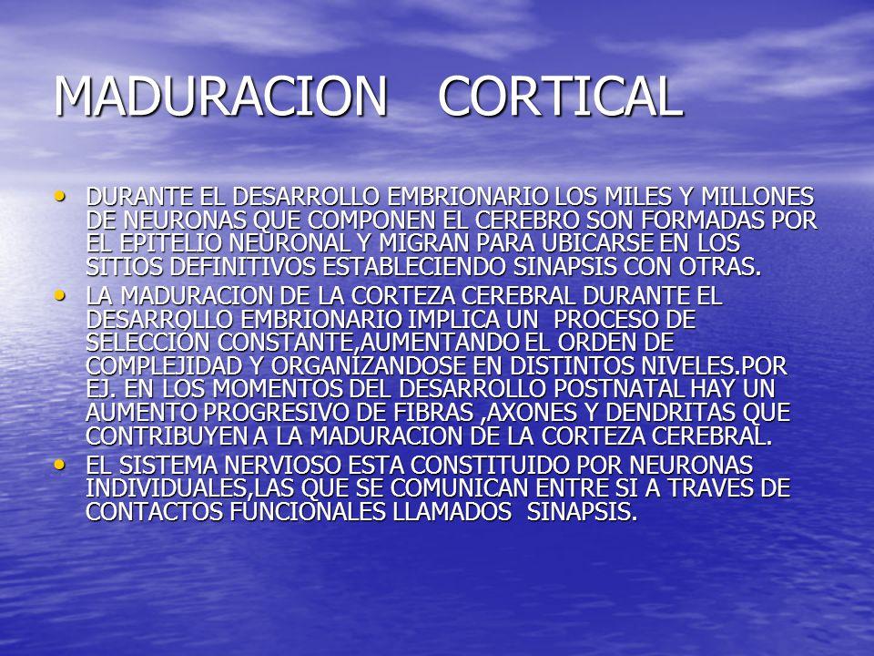 ESTRUCTURA DE LAS NEURONAS EL CUERPO NEURONAL O SOMA EL CUERPO NEURONAL O SOMA PROLONGACION POCO RAMIFICADA LLAMADA AXON PROLONGACION POCO RAMIFICADA LLAMADA AXON PROLONGACIONES MUY RAMIFICADAS LLAMADAS DENDRITAS PROLONGACIONES MUY RAMIFICADAS LLAMADAS DENDRITAS LA FORMA DE LAS NEURONAS DEPENDE DE LA FUNCION QUE CUMPLE, ES DECIR DE LA POSICION QUE OCUPA EN LA RED DE NEURONAS Y LOS CONTACTOS QUE RECIBE EN DICHA RED.