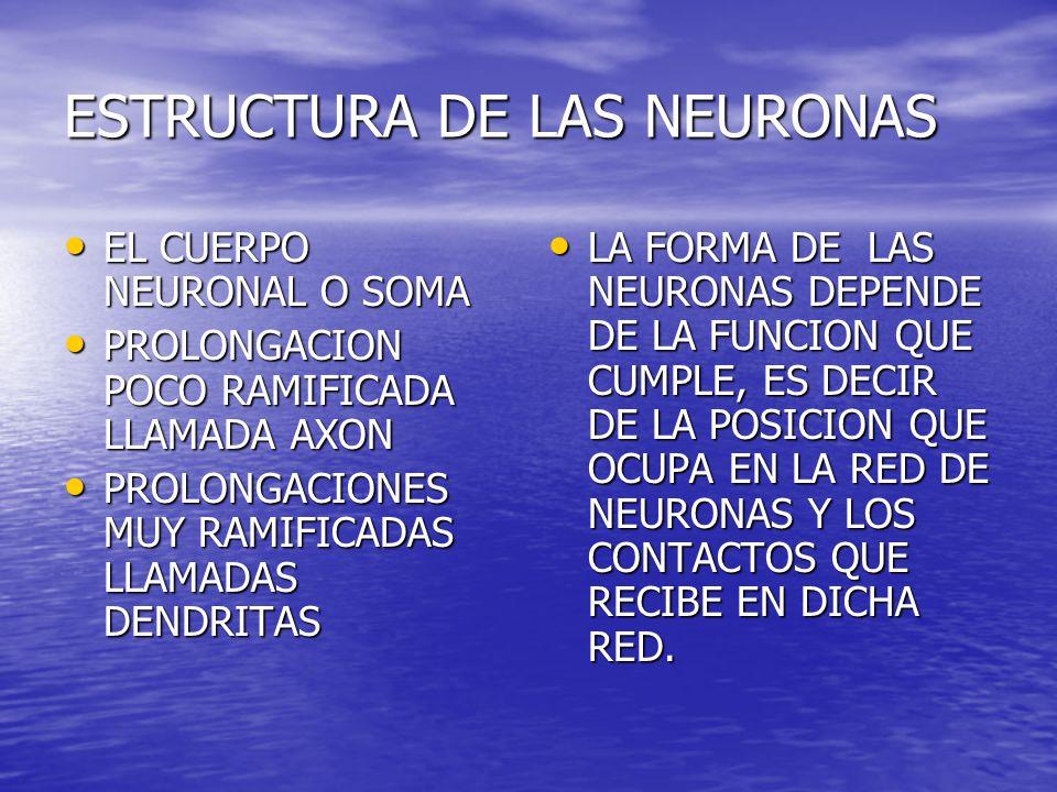 ESTRUCTURA DE LAS NEURONAS EL CUERPO NEURONAL O SOMA EL CUERPO NEURONAL O SOMA PROLONGACION POCO RAMIFICADA LLAMADA AXON PROLONGACION POCO RAMIFICADA