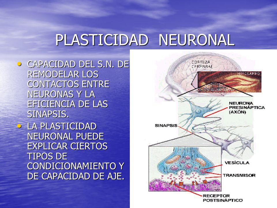 PLASTICIDAD NEURONAL PLASTICIDAD NEURONAL CAPACIDAD DEL S.N. DE REMODELAR LOS CONTACTOS ENTRE NEURONAS Y LA EFICIENCIA DE LAS SINAPSIS. CAPACIDAD DEL