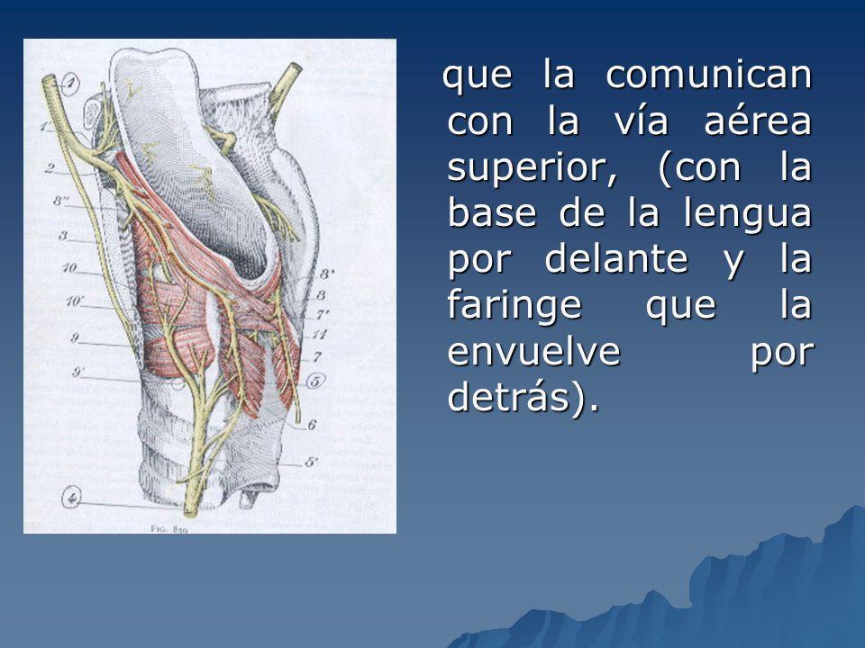 CARTILAGOS - Cartílagos impares: Tiroides, epiglotis, cricoides.