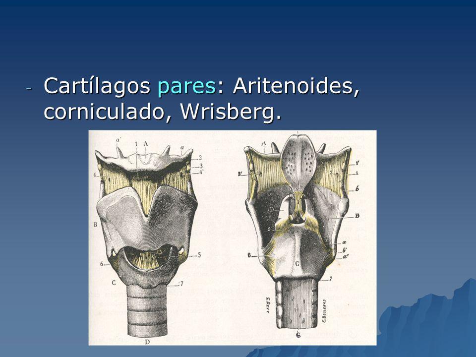 Histología Laringe (epitelio cilindro ciliado) Laringe (epitelio cilindro ciliado) CCVV (plano estratificado) CCVV (plano estratificado)