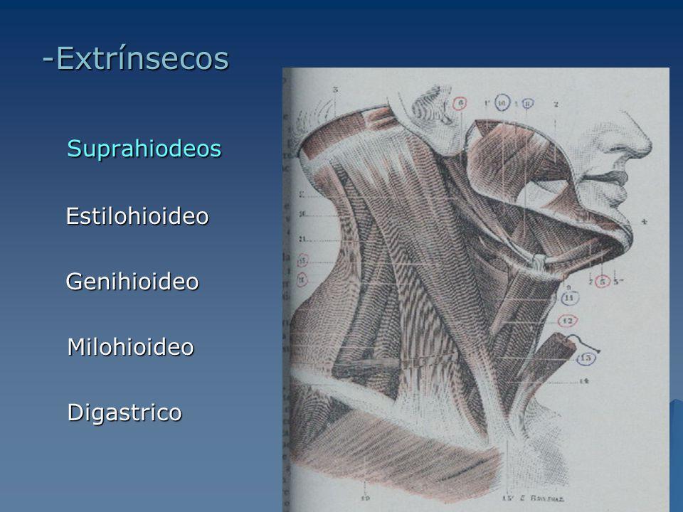 InfrahioideoEsternohiodeoEsternotiroideoTirohioideoOmohioideo