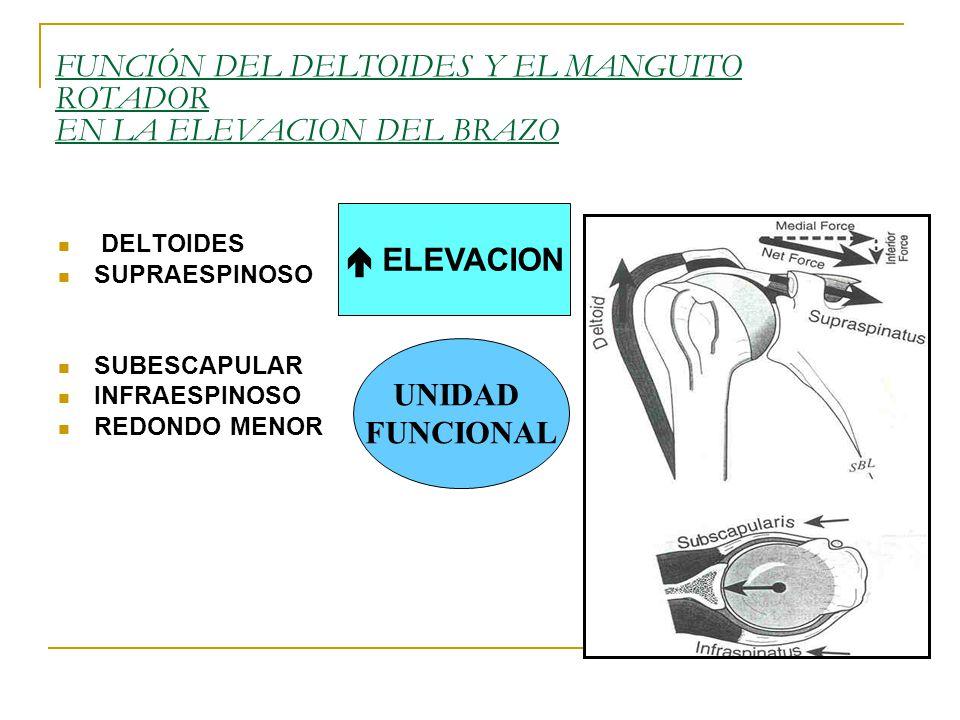 FUNCIÓN DEL DELTOIDES Y EL MANGUITO ROTADOR EN LA ELEVACION DEL BRAZO DELTOIDES SUPRAESPINOSO SUBESCAPULAR INFRAESPINOSO REDONDO MENOR ELEVACION UNIDAD FUNCIONAL