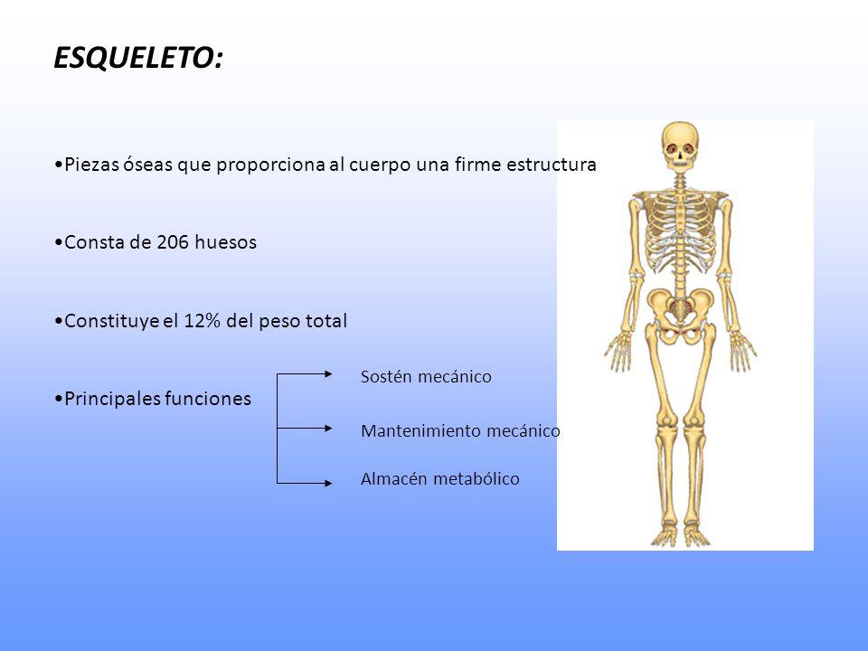 ESQUELETO: Piezas óseas que proporciona al cuerpo una firme estructura Consta de 206 huesos Constituye el 12% del peso total Principales funciones Sostén mecánico Mantenimiento mecánico Almacén metabólico