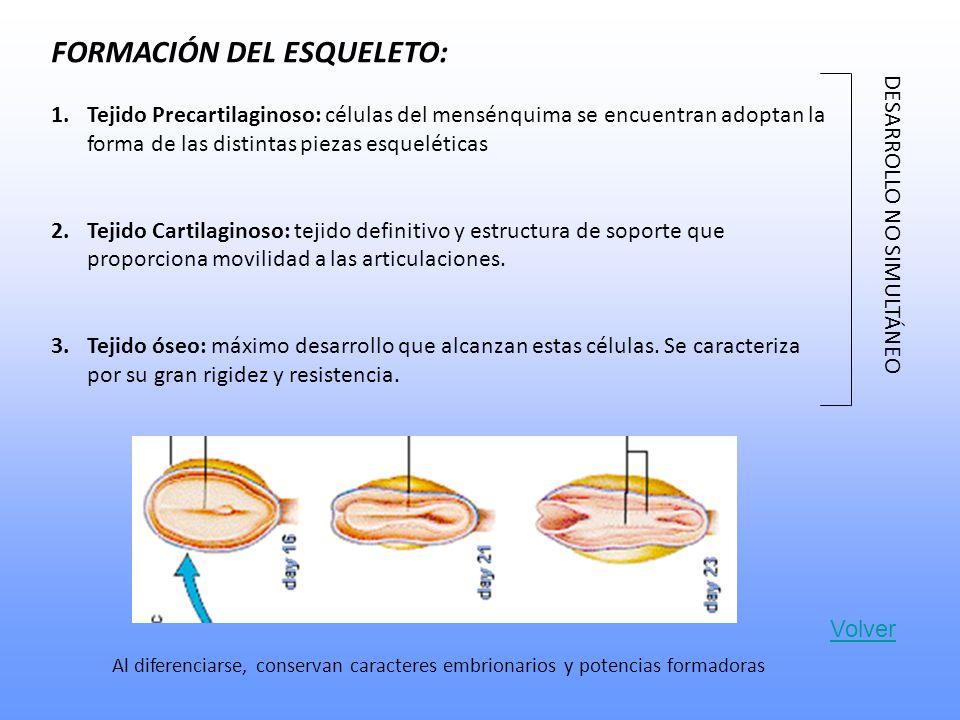 FORMACIÓN DEL ESQUELETO: 1.Tejido Precartilaginoso: células del mensénquima se encuentran adoptan la forma de las distintas piezas esqueléticas 2.Tejido Cartilaginoso: tejido definitivo y estructura de soporte que proporciona movilidad a las articulaciones.