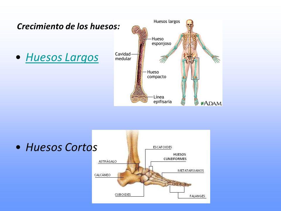 Huesos Largos Huesos Cortos Crecimiento de los huesos: