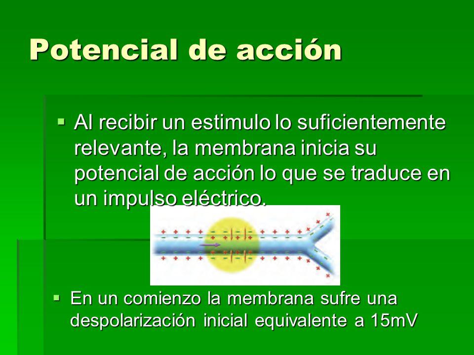 Potencial de acción En un comienzo la membrana sufre una despolarización inicial equivalente a 15mV En un comienzo la membrana sufre una despolarizaci