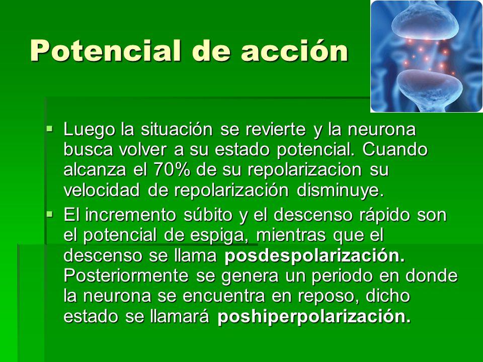 Potencial de acción Luego la situación se revierte y la neurona busca volver a su estado potencial. Cuando alcanza el 70% de su repolarizacion su velo