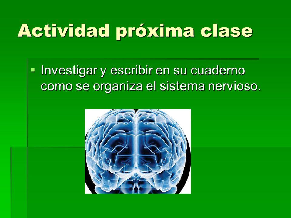 Actividad próxima clase Investigar y escribir en su cuaderno como se organiza el sistema nervioso. Investigar y escribir en su cuaderno como se organi