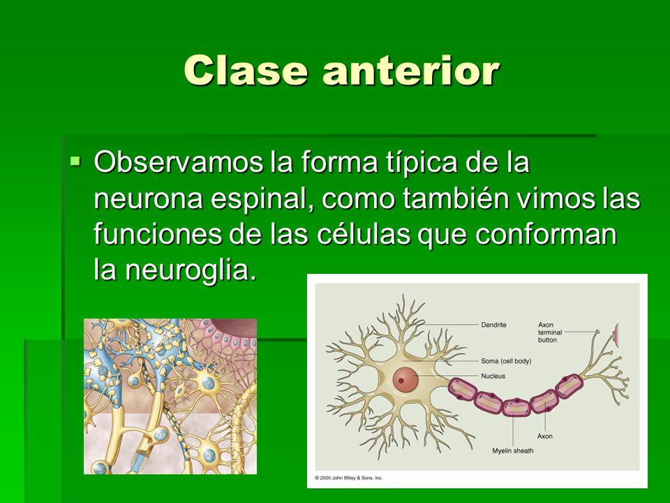Clase anterior Observamos la forma típica de la neurona espinal, como también vimos las funciones de las células que conforman la neuroglia. Observamo