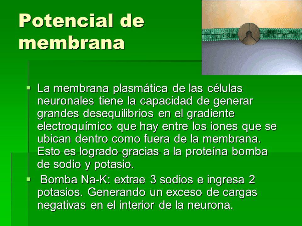 Potencial de membrana La membrana plasmática de las células neuronales tiene la capacidad de generar grandes desequilibrios en el gradiente electroquí