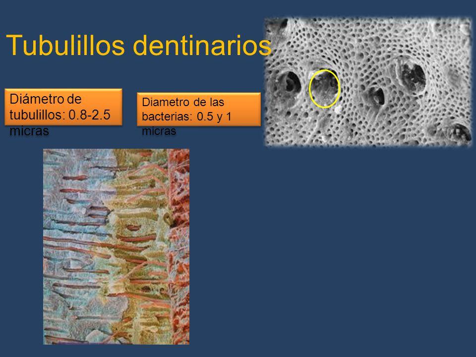 Tubulillos dentinarios Diámetro de tubulillos: 0.8-2.5 micras Diametro de las bacterias: 0.5 y 1 micras
