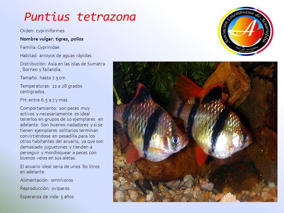 Puntius tetrazona Orden: cypriniformes Nombre vulgar: tigres, pollos Familia: Cyprinidae Habitad: arroyos de aguas rápidas. Distribución: Asia en las