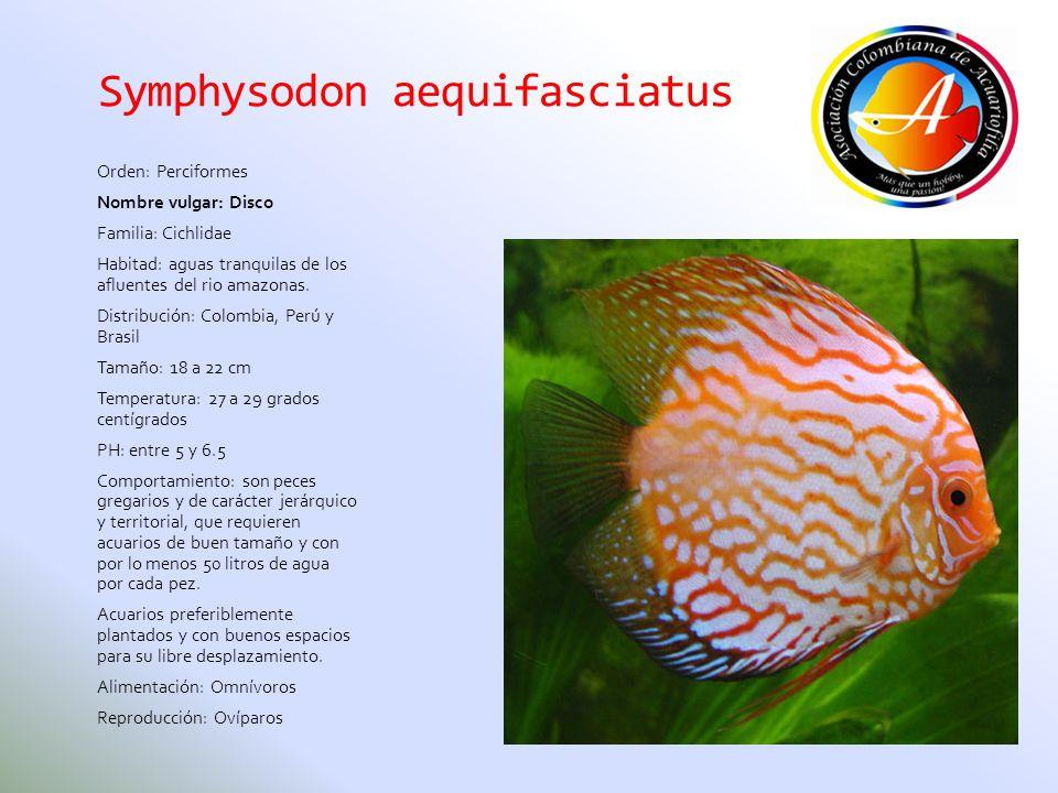 Symphysodon aequifasciatus Orden: Perciformes Nombre vulgar: Disco Familia: Cichlidae Habitad: aguas tranquilas de los afluentes del rio amazonas. Dis