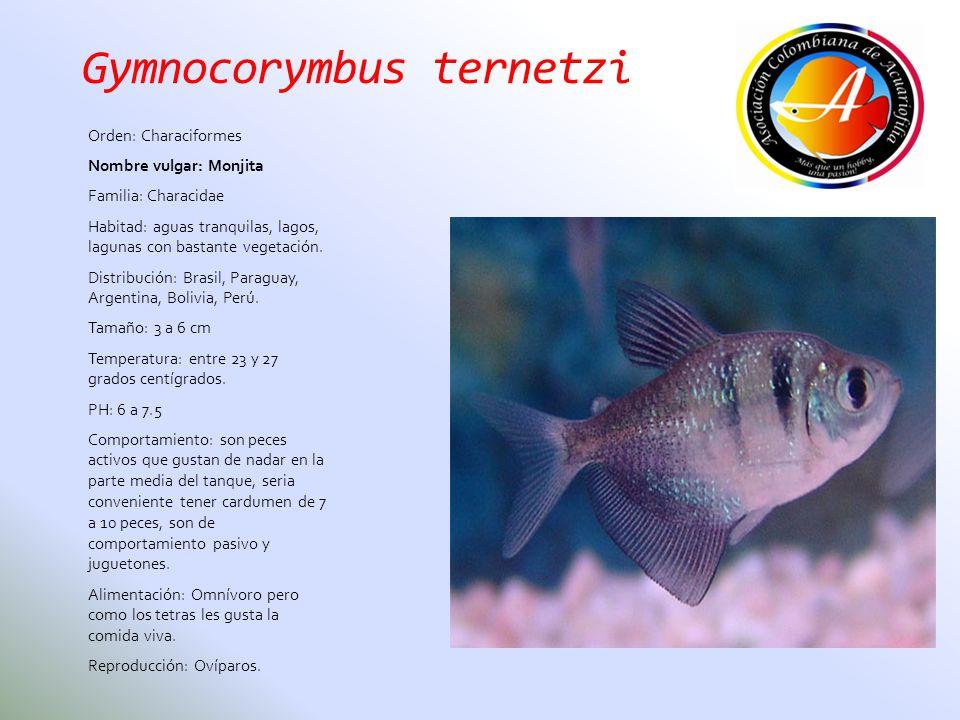 Gymnocorymbus ternetzi Orden: Characiformes Nombre vulgar: Monjita Familia: Characidae Habitad: aguas tranquilas, lagos, lagunas con bastante vegetaci