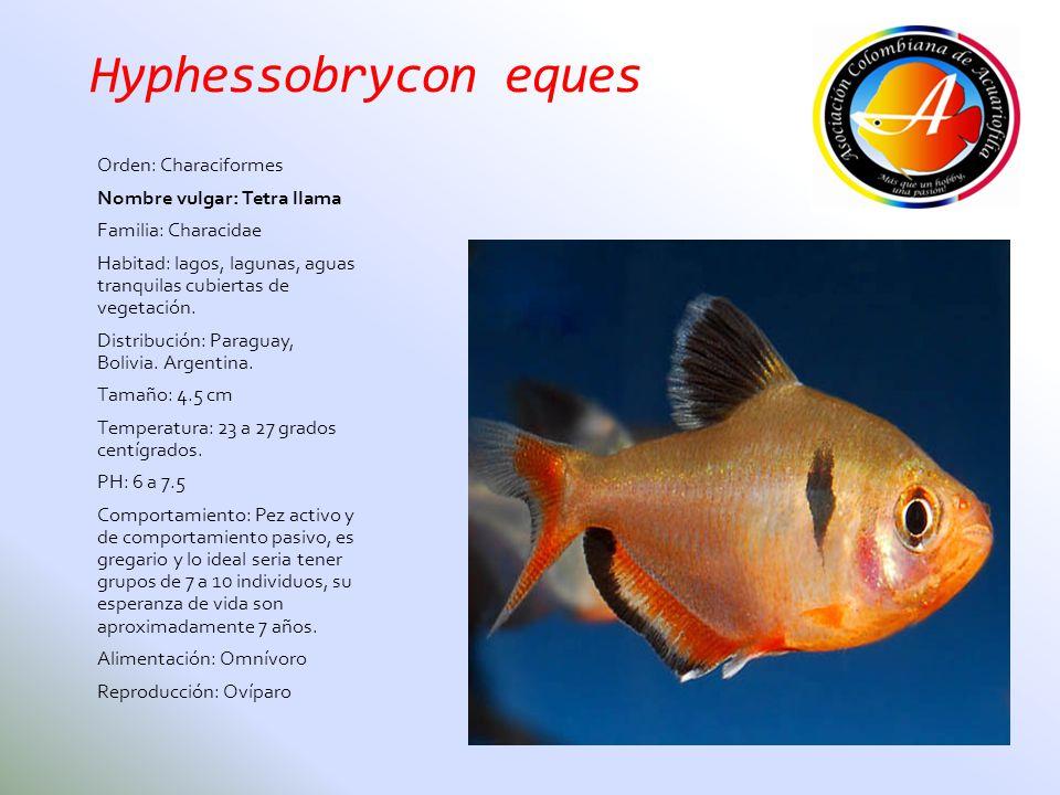 Hyphessobrycon eques Orden: Characiformes Nombre vulgar: Tetra llama Familia: Characidae Habitad: lagos, lagunas, aguas tranquilas cubiertas de vegeta