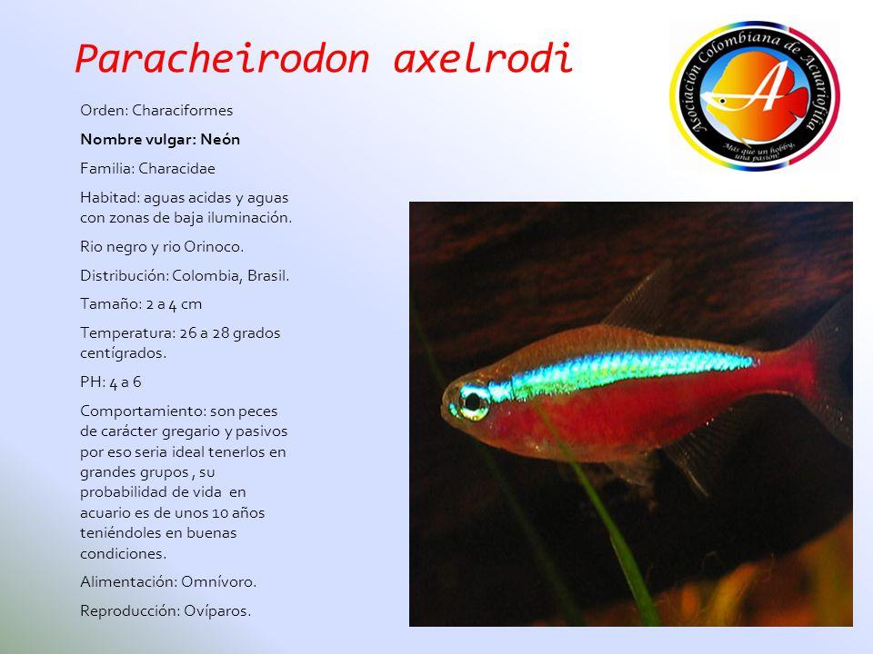 Paracheirodon axelrodi Orden: Characiformes Nombre vulgar: Neón Familia: Characidae Habitad: aguas acidas y aguas con zonas de baja iluminación. Rio n