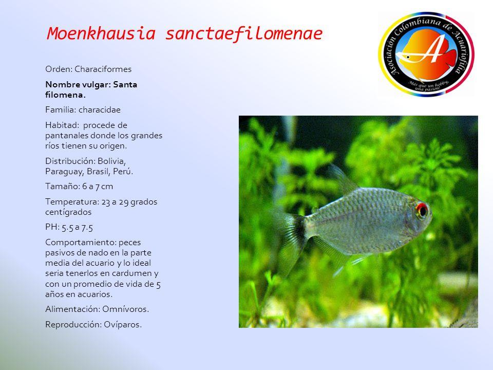 Moenkhausia sanctaefilomenae Orden: Characiformes Nombre vulgar: Santa filomena. Familia: characidae Habitad: procede de pantanales donde los grandes