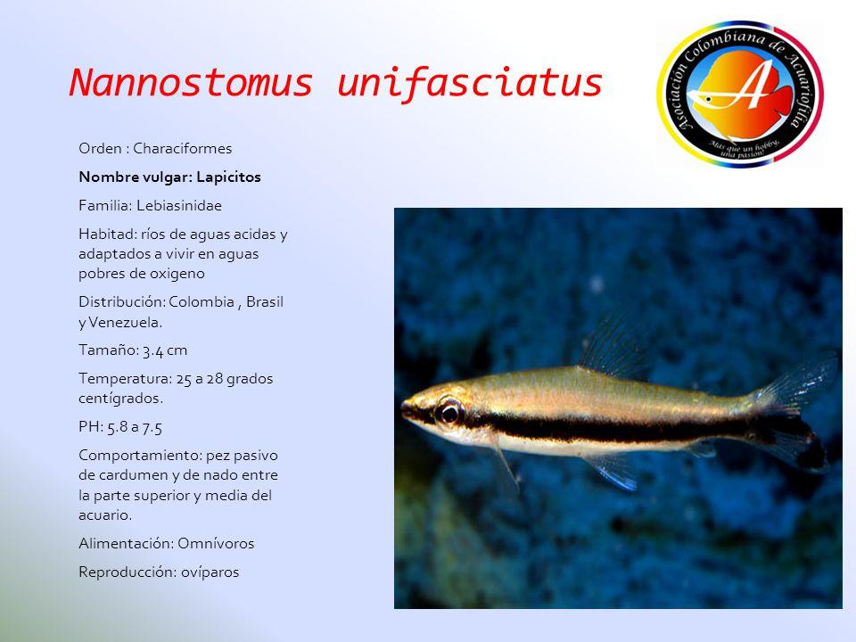 Nannostomus unifasciatus Orden : Characiformes Nombre vulgar: Lapicitos Familia: Lebiasinidae Habitad: ríos de aguas acidas y adaptados a vivir en agu