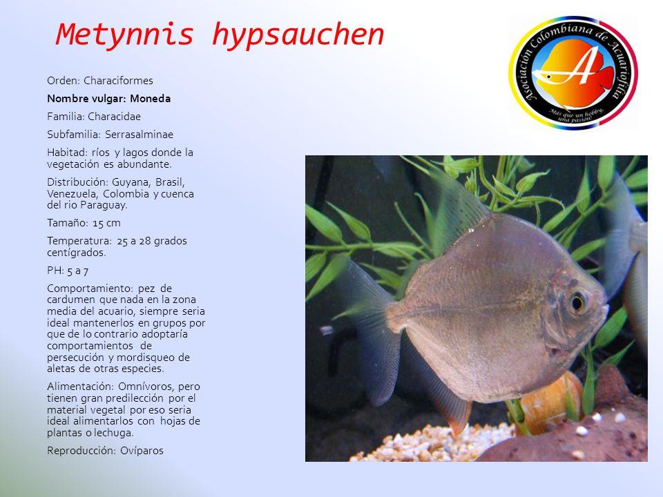 Metynnis hypsauchen Orden: Characiformes Nombre vulgar: Moneda Familia: Characidae Subfamilia: Serrasalminae Habitad: ríos y lagos donde la vegetación