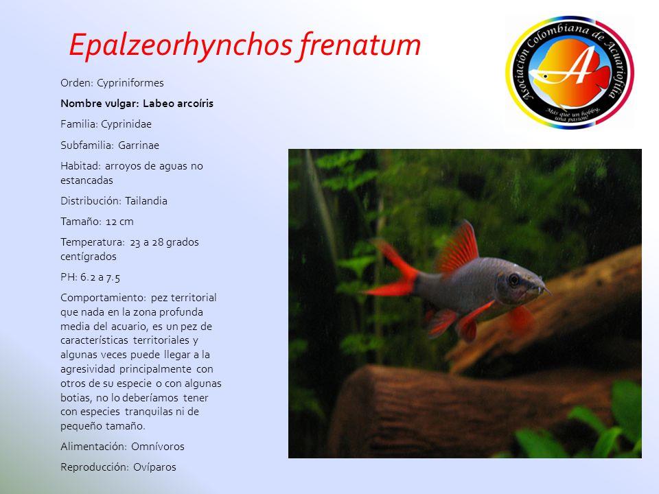 Orden: Cypriniformes Nombre vulgar: Labeo arcoíris Familia: Cyprinidae Subfamilia: Garrinae Habitad: arroyos de aguas no estancadas Distribución: Tail