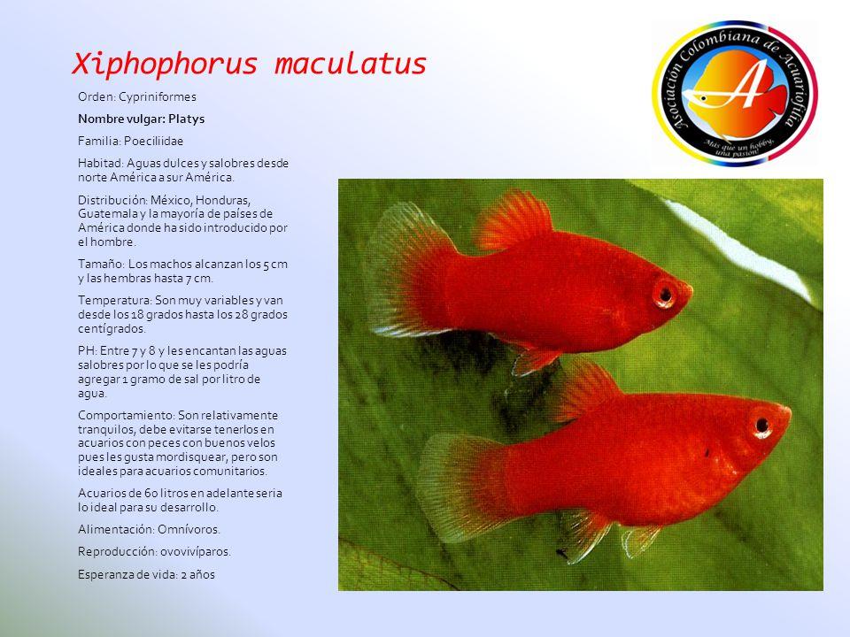 Xiphophorus maculatus Orden: Cypriniformes Nombre vulgar: Platys Familia: Poeciliidae Habitad: Aguas dulces y salobres desde norte América a sur Améri