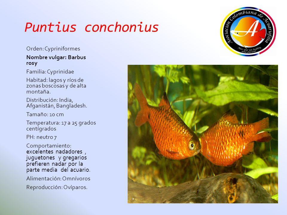 Puntius conchonius Orden: Cypriniformes Nombre vulgar: Barbus rosy Familia: Cyprinidae Habitad: lagos y ríos de zonas boscosas y de alta montaña. Dist