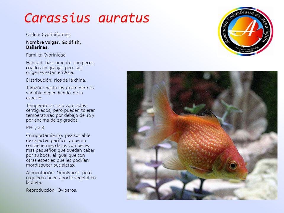 Carassius auratus Orden: Cypriniformes Nombre vulgar: Goldfish, Bailarinas. Familia: Cyprinidae Habitad: básicamente son peces criados en granjas pero
