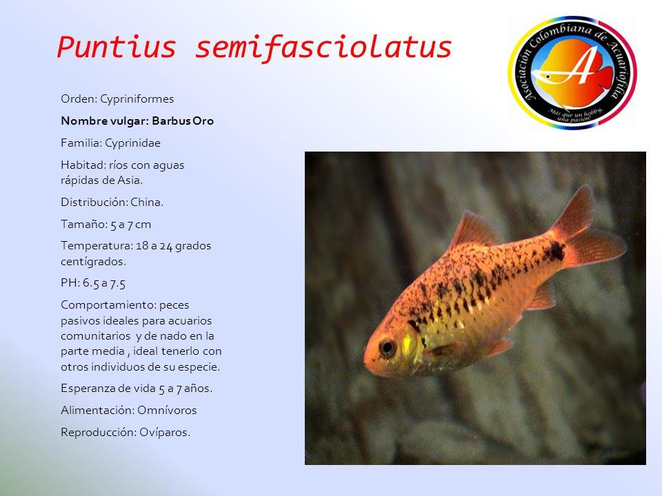 Puntius semifasciolatus Orden: Cypriniformes Nombre vulgar: Barbus Oro Familia: Cyprinidae Habitad: ríos con aguas rápidas de Asia. Distribución: Chin