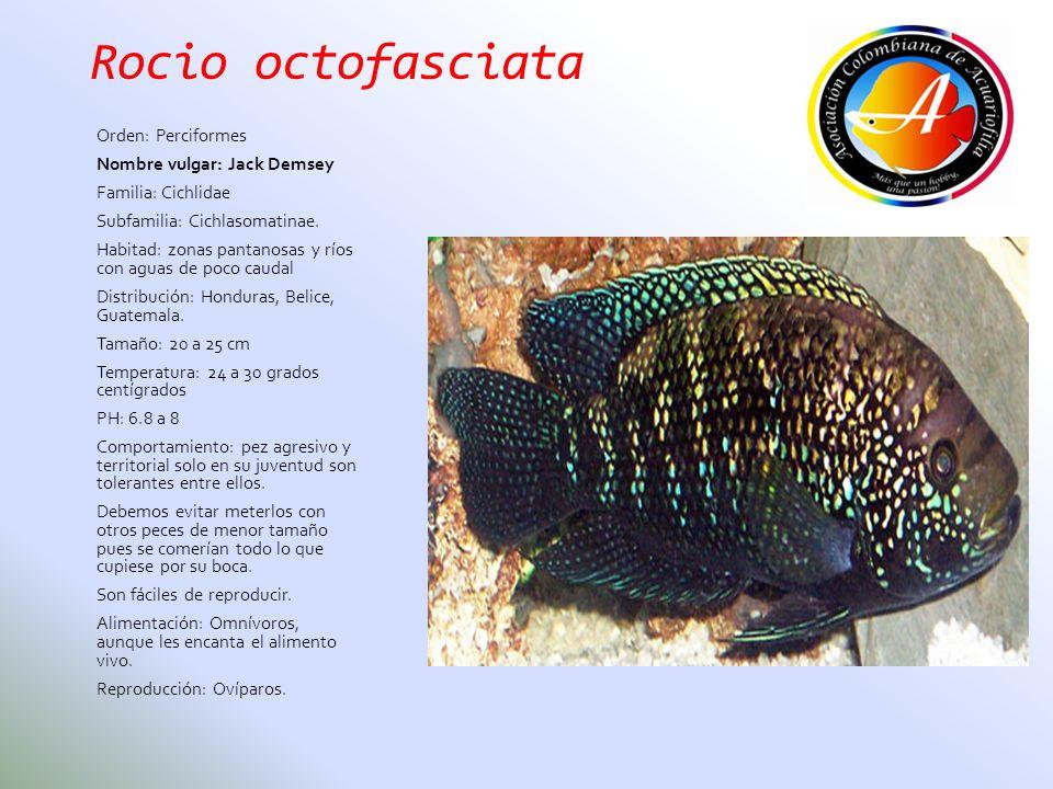 Rocio octofasciata Orden: Perciformes Nombre vulgar: Jack Demsey Familia: Cichlidae Subfamilia: Cichlasomatinae. Habitad: zonas pantanosas y ríos con