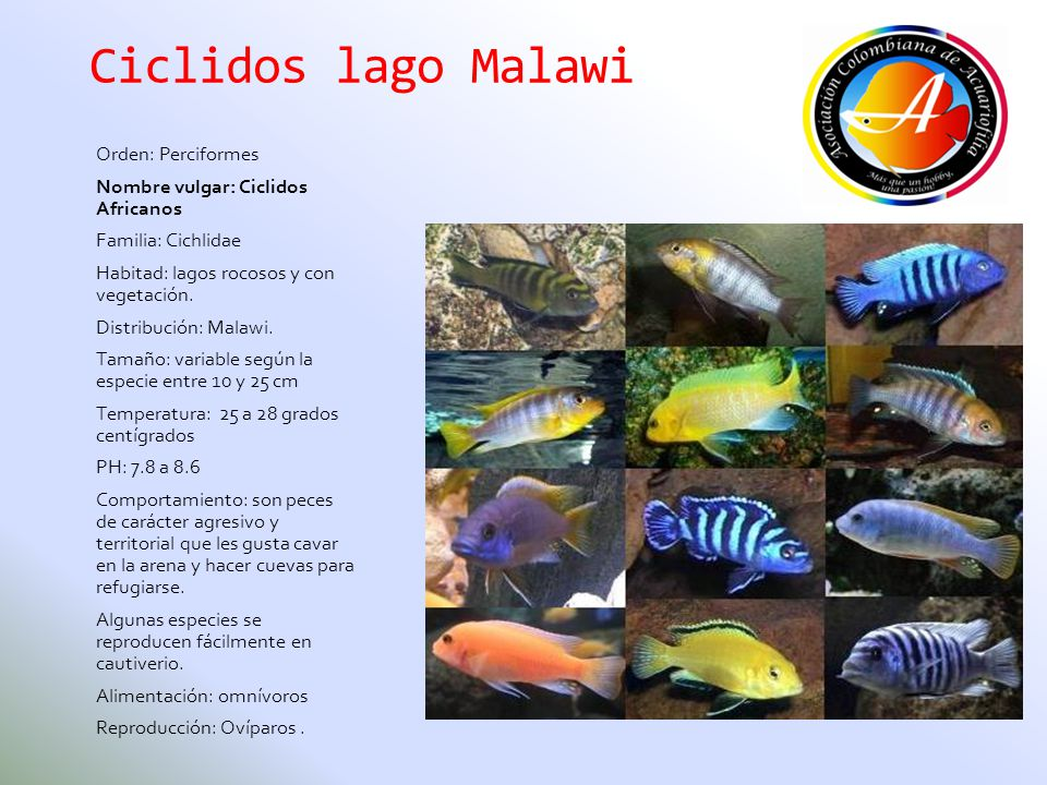 Ciclidos lago Malawi Orden: Perciformes Nombre vulgar: Ciclidos Africanos Familia: Cichlidae Habitad: lagos rocosos y con vegetación. Distribución: Ma