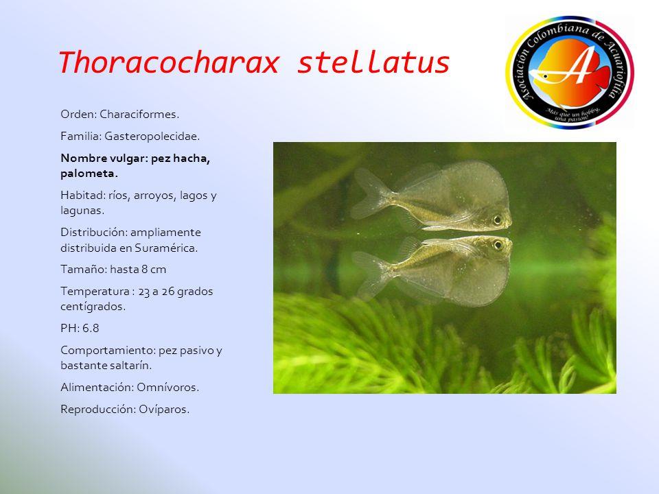 Thoracocharax stellatus Orden: Characiformes. Familia: Gasteropolecidae. Nombre vulgar: pez hacha, palometa. Habitad: ríos, arroyos, lagos y lagunas.