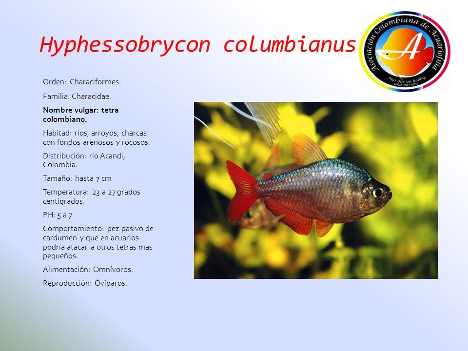 Hyphessobrycon columbianus Orden: Characiformes. Familia: Characidae. Nombre vulgar: tetra colombiano. Habitad: ríos, arroyos, charcas con fondos aren