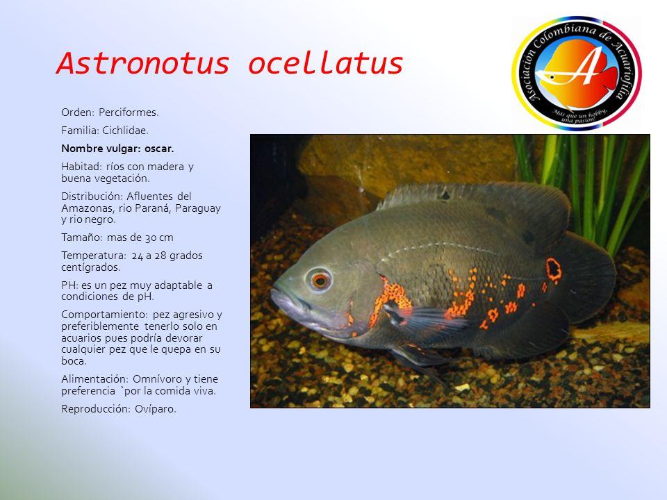 Astronotus ocellatus Orden: Perciformes. Familia: Cichlidae. Nombre vulgar: oscar. Habitad: ríos con madera y buena vegetación. Distribución: Afluente