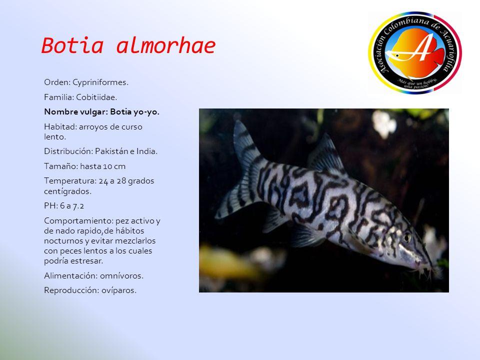 Botia almorhae Orden: Cypriniformes. Familia: Cobitiidae. Nombre vulgar: Botia yo-yo. Habitad: arroyos de curso lento. Distribución: Pakistán e India.