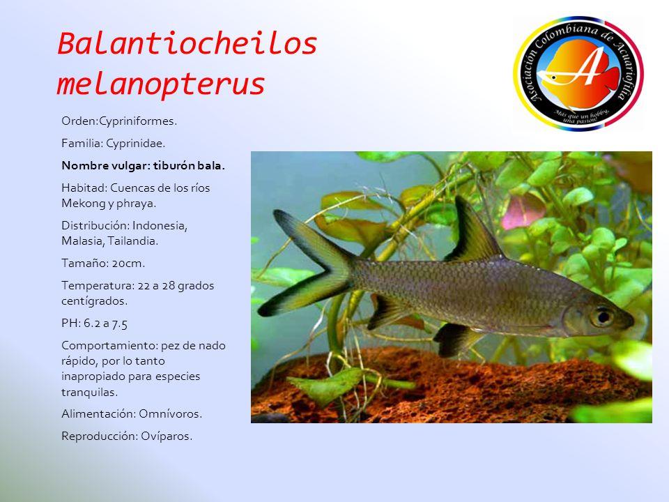 Balantiocheilos melanopterus Orden:Cypriniformes. Familia: Cyprinidae. Nombre vulgar: tiburón bala. Habitad: Cuencas de los ríos Mekong y phraya. Dist