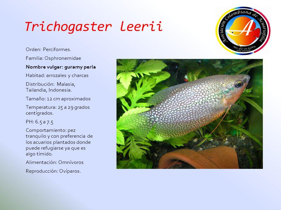 Trichogaster leerii Orden: Perciformes. Familia: Osphronemidae Nombre vulgar: guramy perla Habitad: arrozales y charcas Distribución: Malasia, Tailand