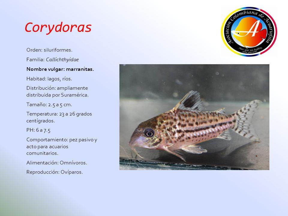 Corydoras Orden: siluriformes. Familia: Callichthyidae Nombre vulgar: marranitas. Habitad: lagos, ríos. Distribución: ampliamente distribuida por Sura
