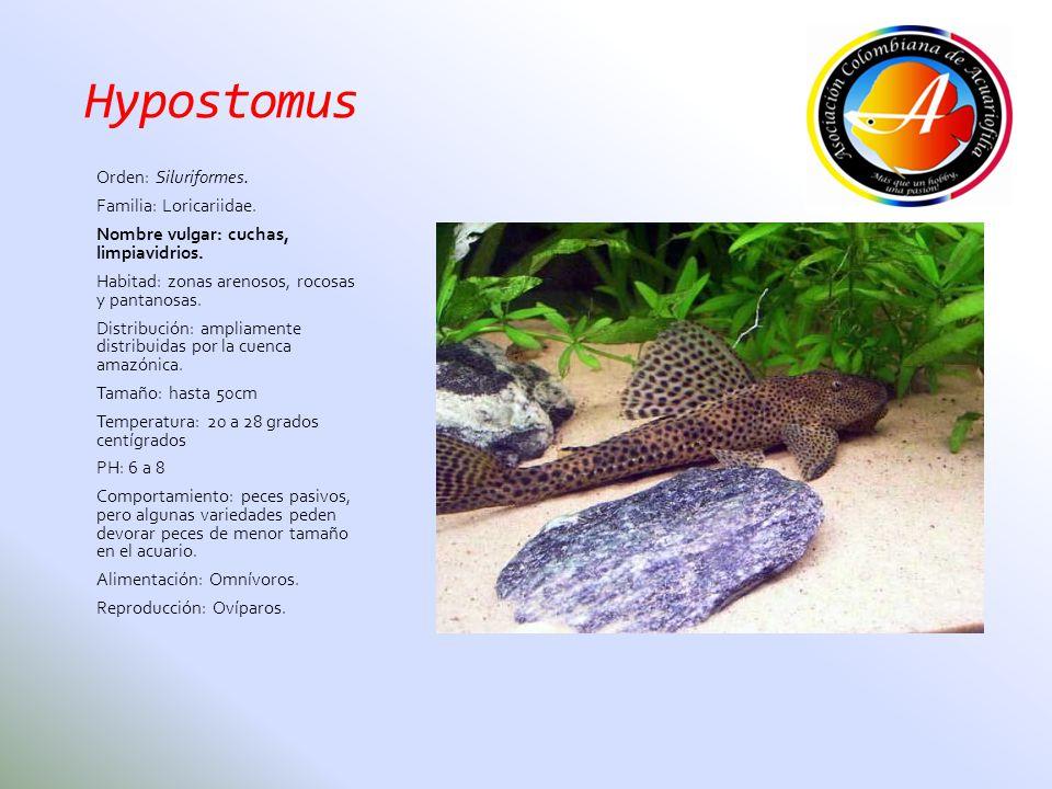 Hypostomus Orden: Siluriformes. Familia: Loricariidae. Nombre vulgar: cuchas, limpiavidrios. Habitad: zonas arenosos, rocosas y pantanosas. Distribuci
