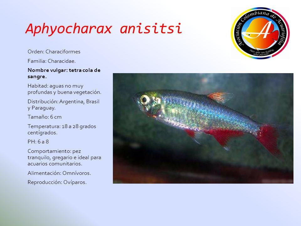 Aphyocharax anisitsi Orden: Characiformes Familia: Characidae. Nombre vulgar: tetra cola de sangre. Habitad: aguas no muy profundas y buena vegetación