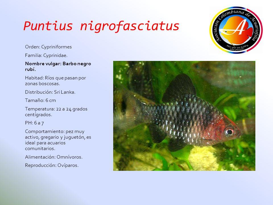 Puntius nigrofasciatus Orden: Cypriniformes Familia: Cyprinidae. Nombre vulgar: Barbo negro rubí. Habitad: Ríos que pasan por zonas boscosas. Distribu